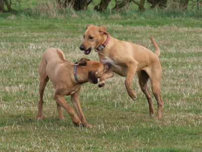 Playing Ridgeback dogs